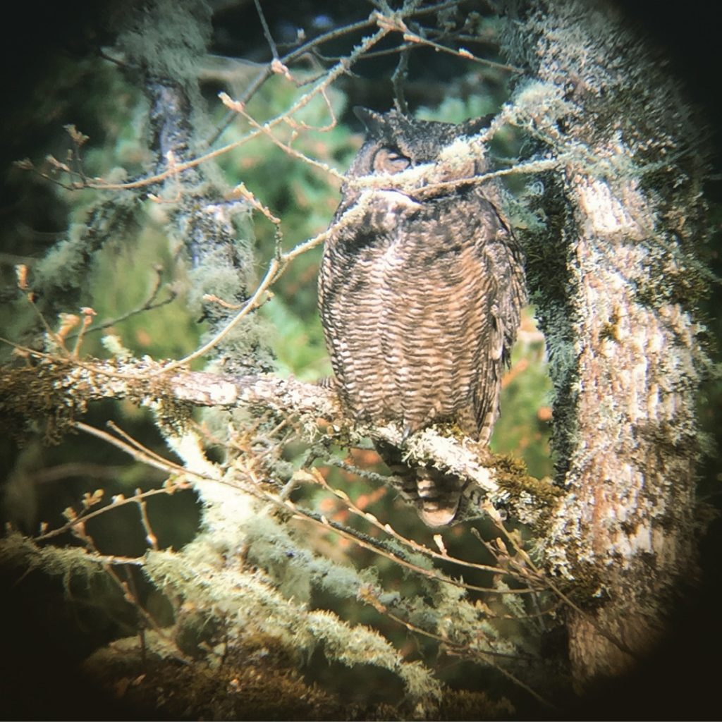 Cooper Mountain Great Horned Owl